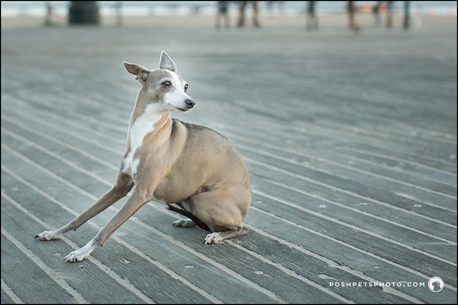 Sitting Italian Greyhound on Boardwalk at Brighton Beach
