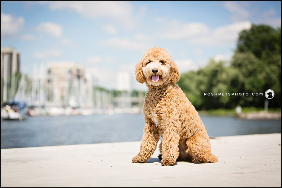 Golden doodle puppy sitting at Bronte Marina, Oakville
