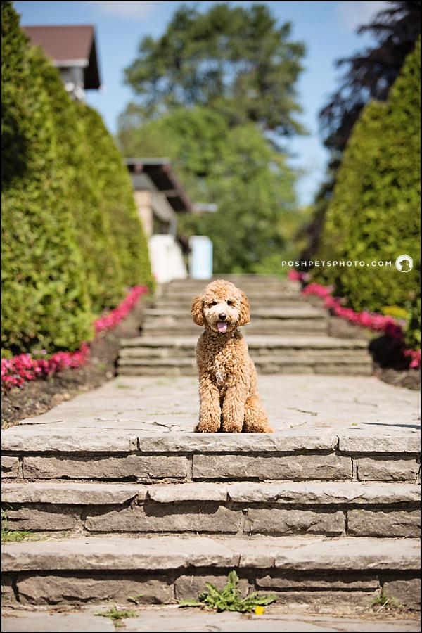 Golden doodle puppy at Gariloch Gardens, Oakville