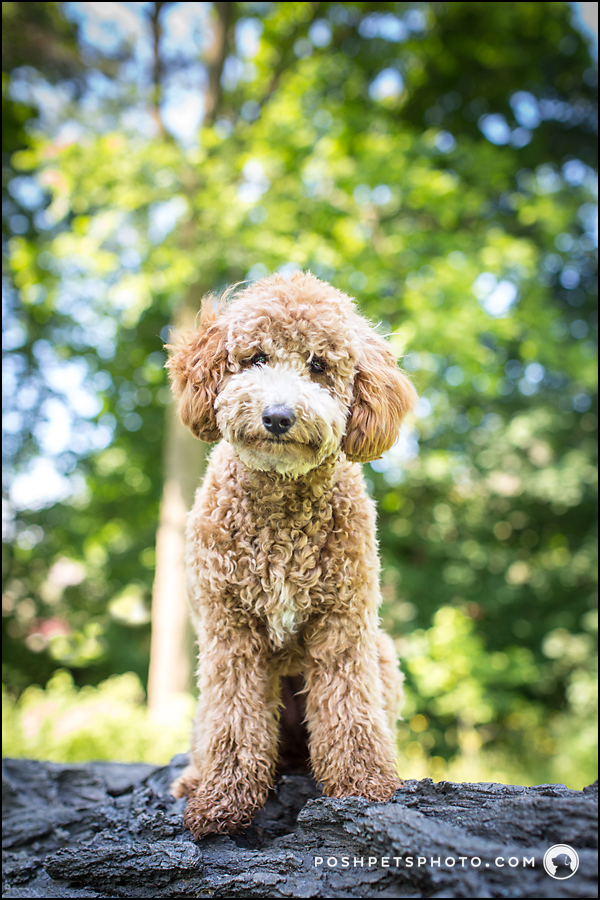 Golden Doodle puppy standing on a tree stump