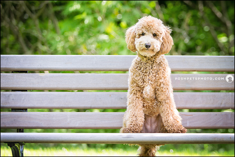Golden Doodle puppy sitting on bench at Gairloch Gardens, Oakville
