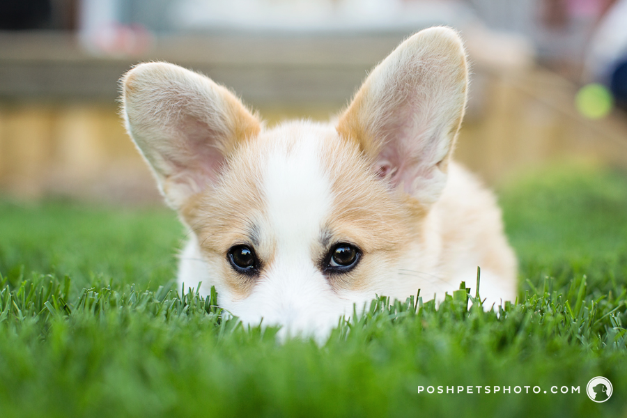 Paddington | Toronto Corgi Puppy Photography