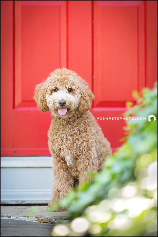 Golden Doodle puppy with red door