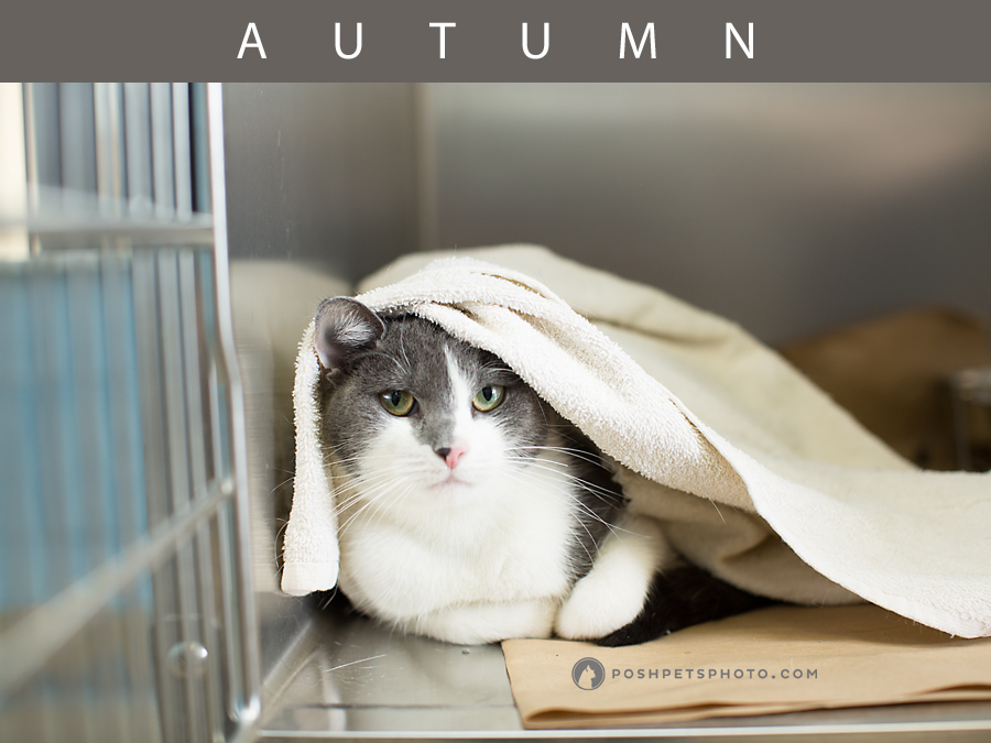 grey and white cat hiding under blanket