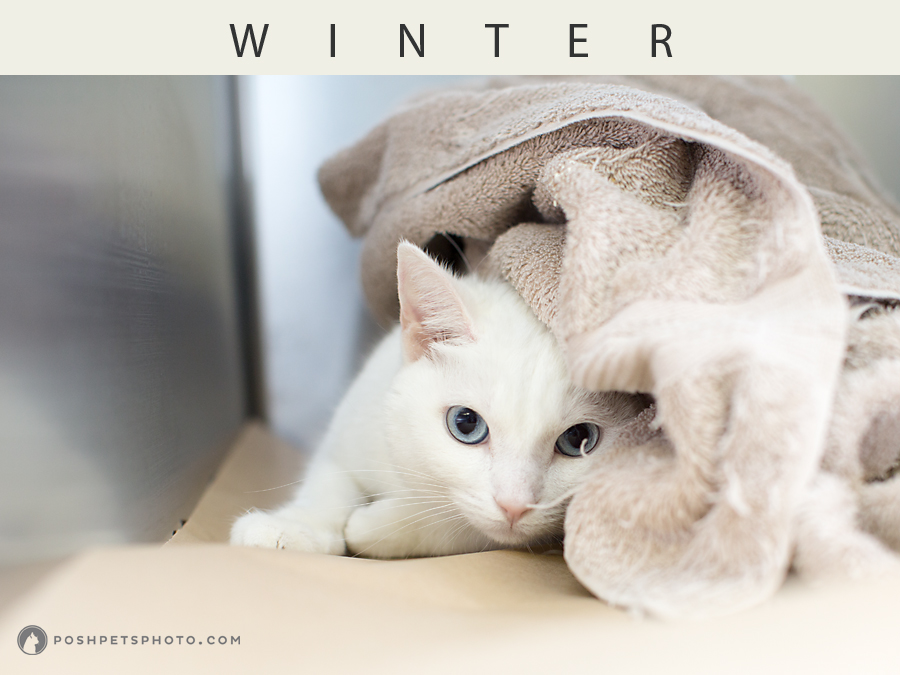white cat peeking out from under blanket