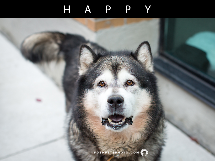 Smiling husky dog