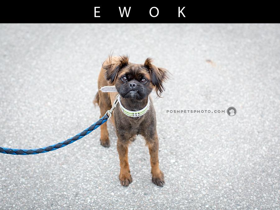 standing pekingese dog