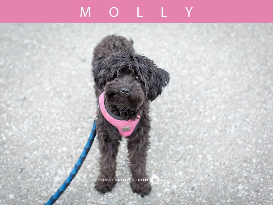 smiling poodle dog