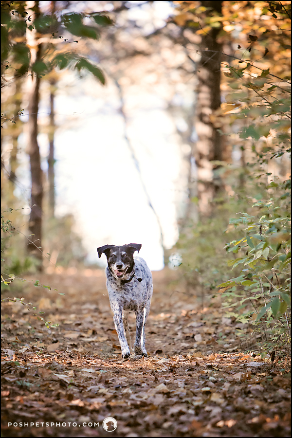 pointer running through forest in fall time