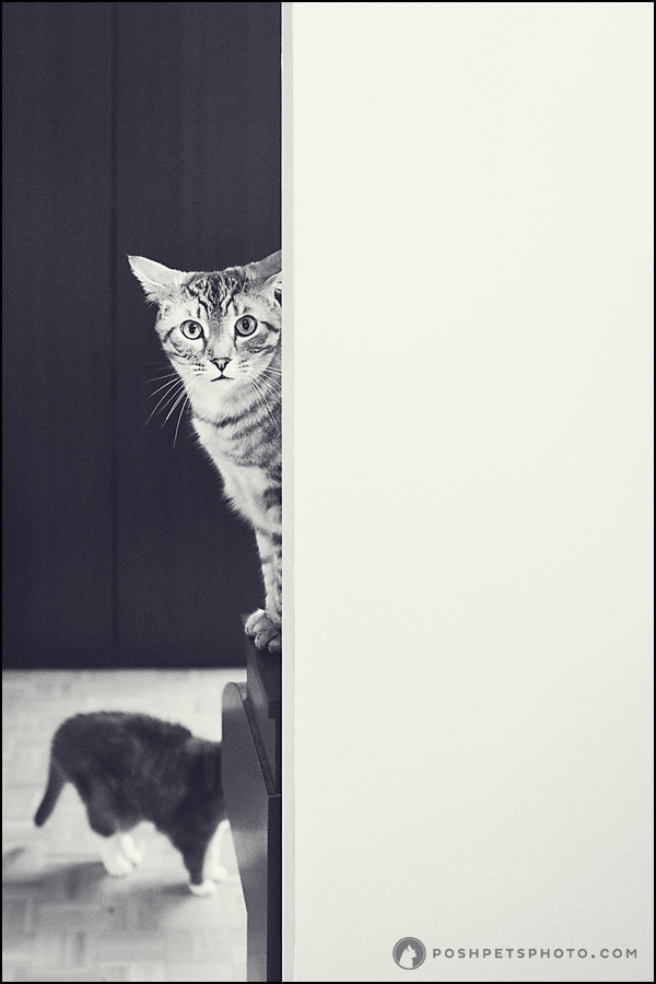 silver tabby cat looking around the corner