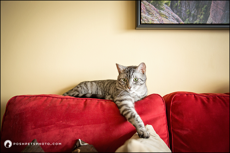 silver tabby on red couch natural light