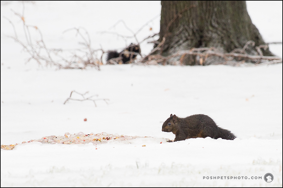 squirrel foraging for food on frozen ice and snow