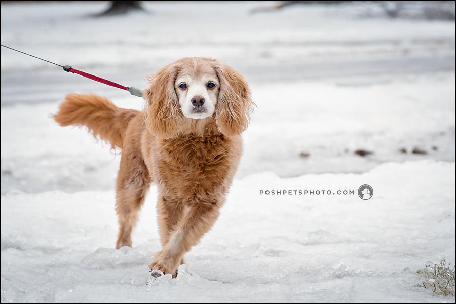 senior cocker spaniel dog on ice