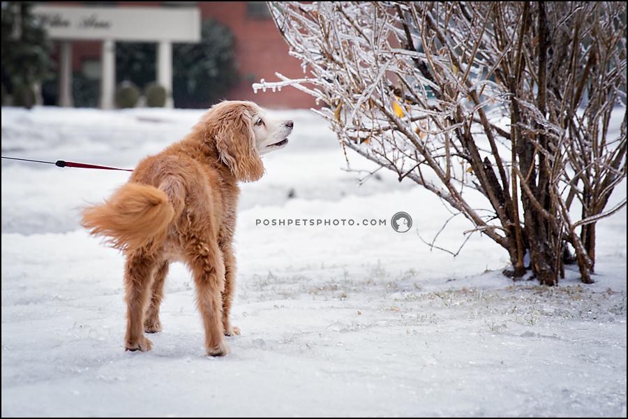 cocker spaniel examining froze bush