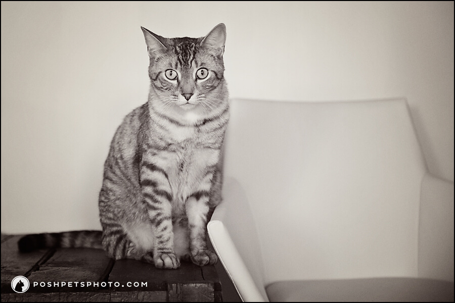 black and white photograph of tabby cat sitting on table