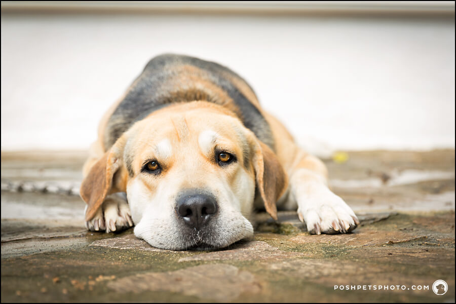sad beagle face lying on floor