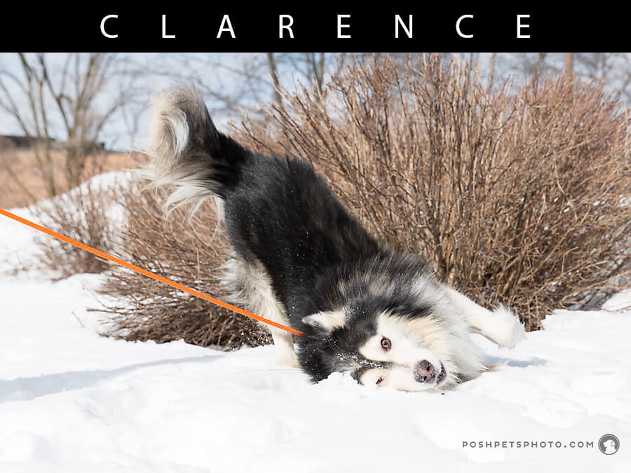 toronto dog photographer husky rolling