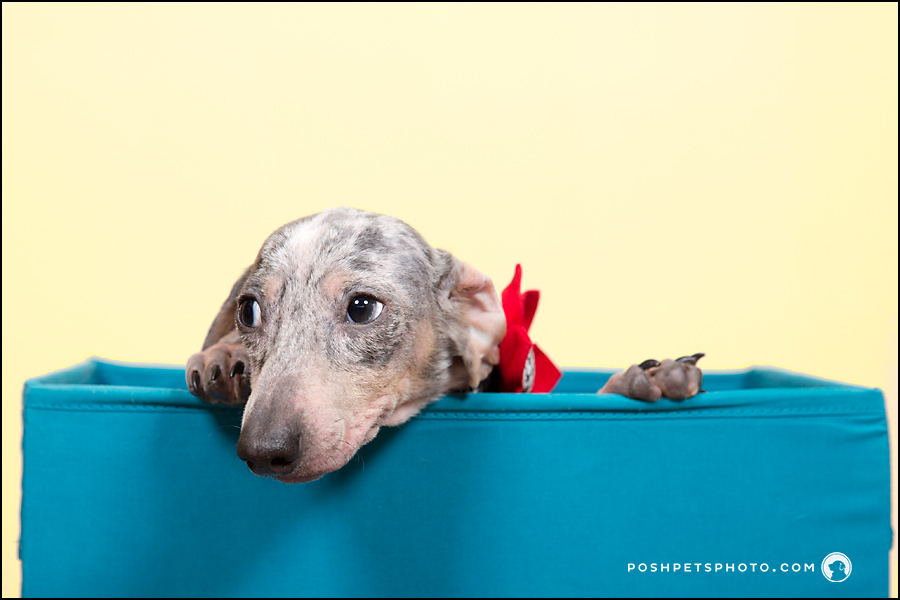 dachshund puppy peeking over box