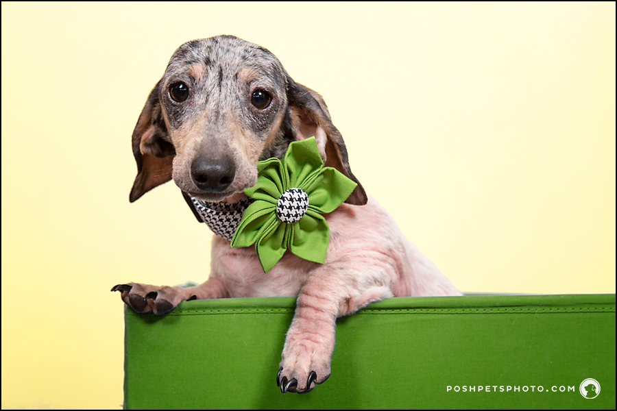 toronto dog photographer dachshund puppy