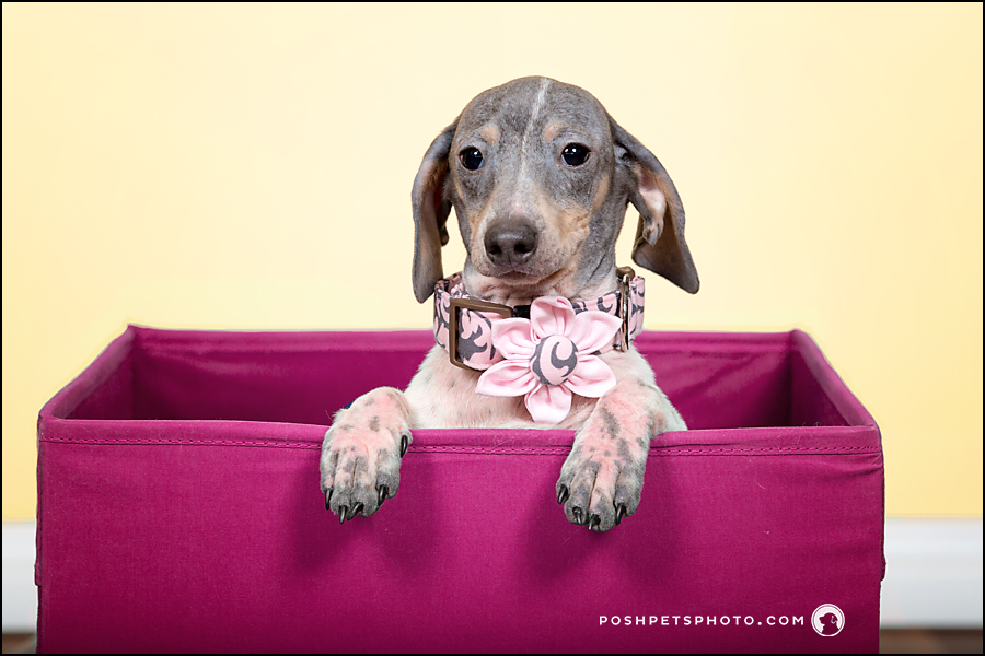 contemporary dog photographer dachshund puppy