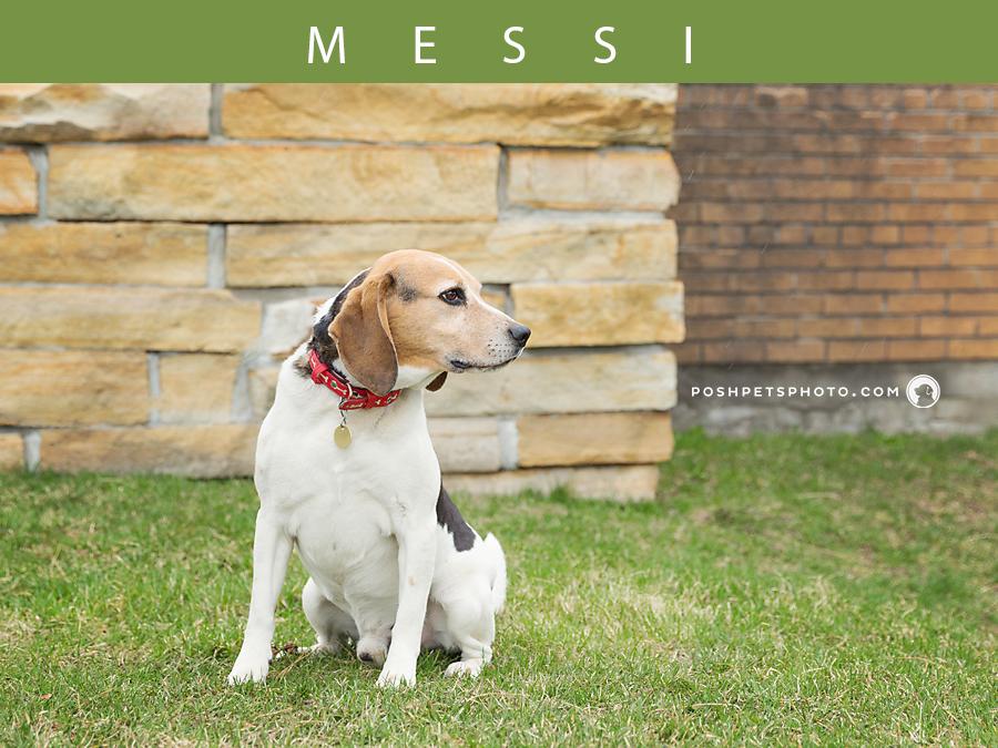 beagle-posh-pets-photography