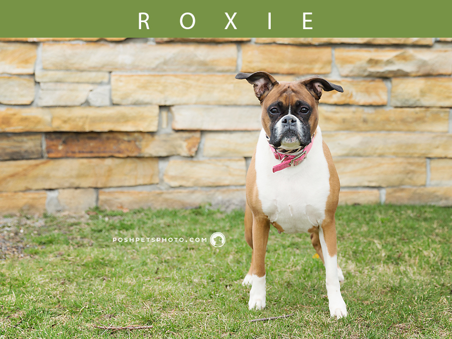 boxer-fawn-posh-pets-photography