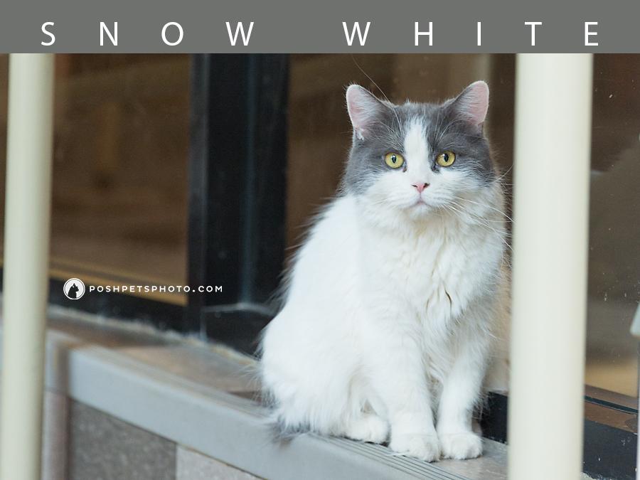 grey-white-cat-posh-pets-photography