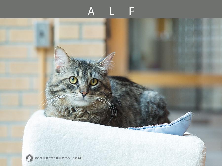 long-hair-tabby-cat-posh-pets-photography