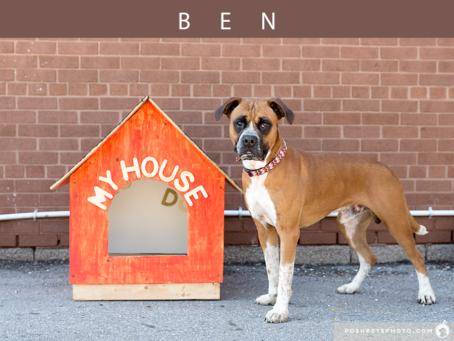 boxer dog in front of his dog house