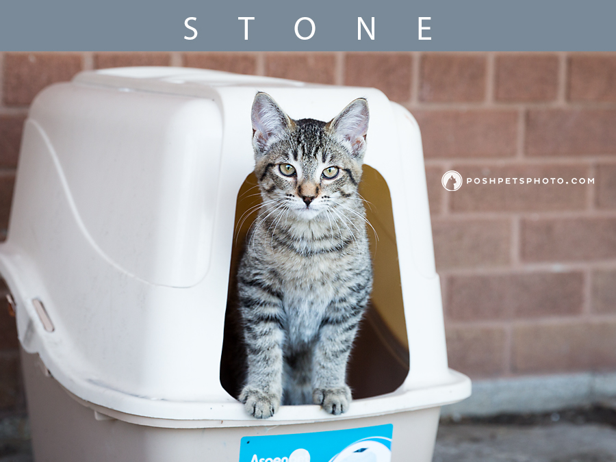 grey tabby kitten coming out of her litter box