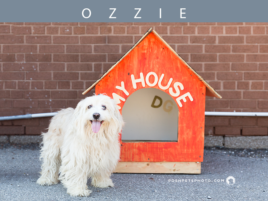white maltese in front of his dog house
