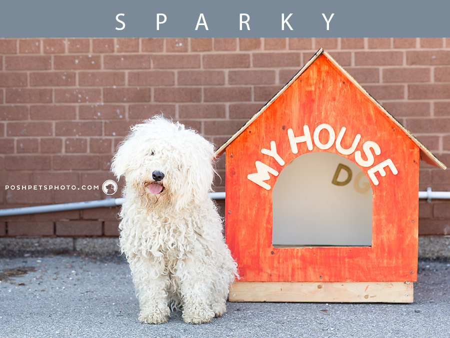 poodle mix dog with his dog house