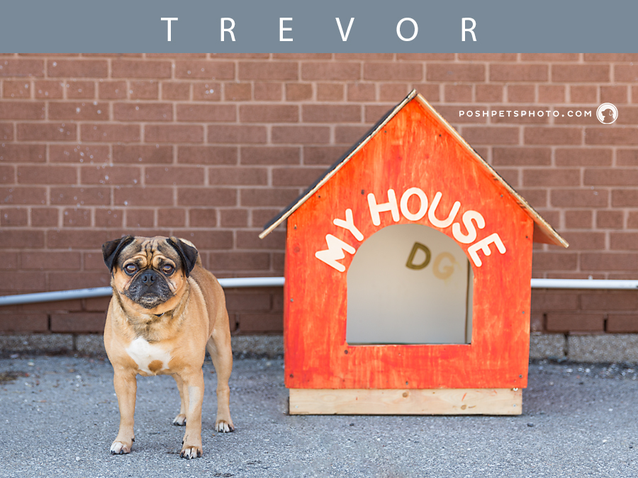 pug standing by his dog house