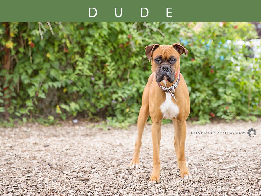 beautiful boxer dog in Mississauga