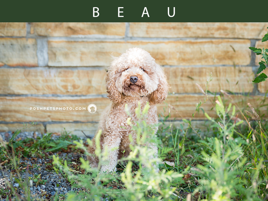 bichon poodle sitting in grass by wall