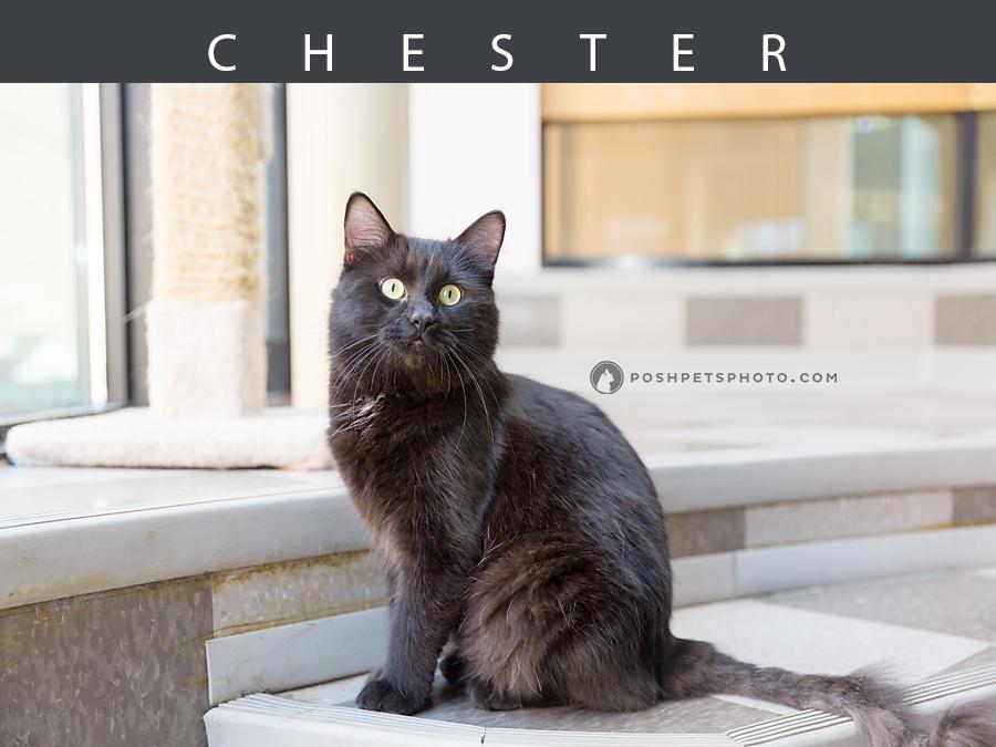 black cat posing posh pets photography