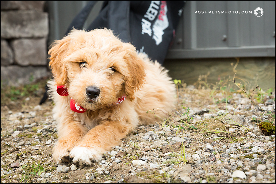 best doodle puppy photographer