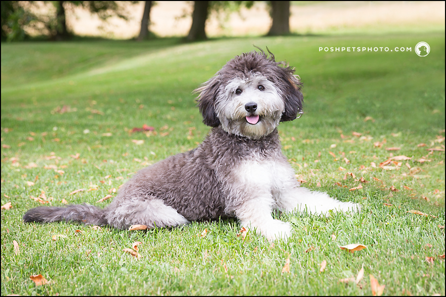 doodle puppy photography
