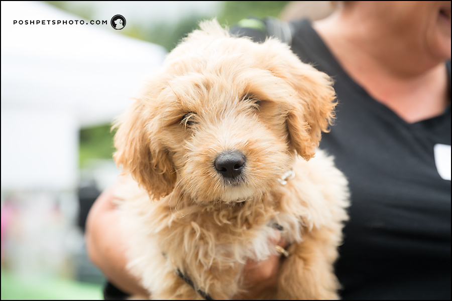 doodle puppy photography toronto