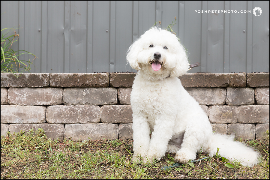 best labradoodle photography ontario