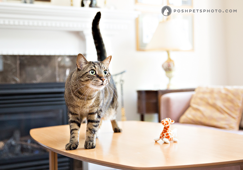 brown tabby cat on coffee table