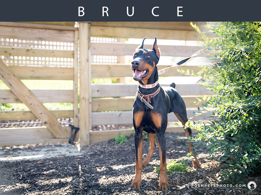 doberman pincher by wooden fence
