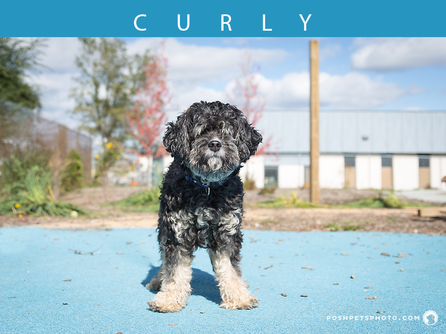 southern ontario dog photographer poodle