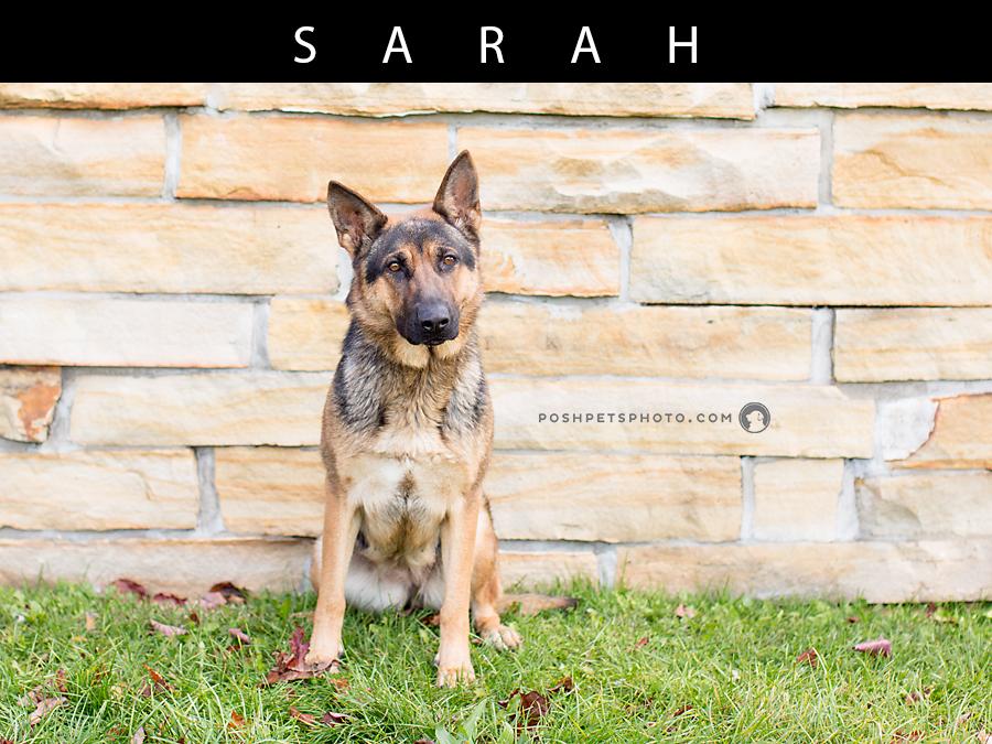 Toronto's best german shepherd dog photographer