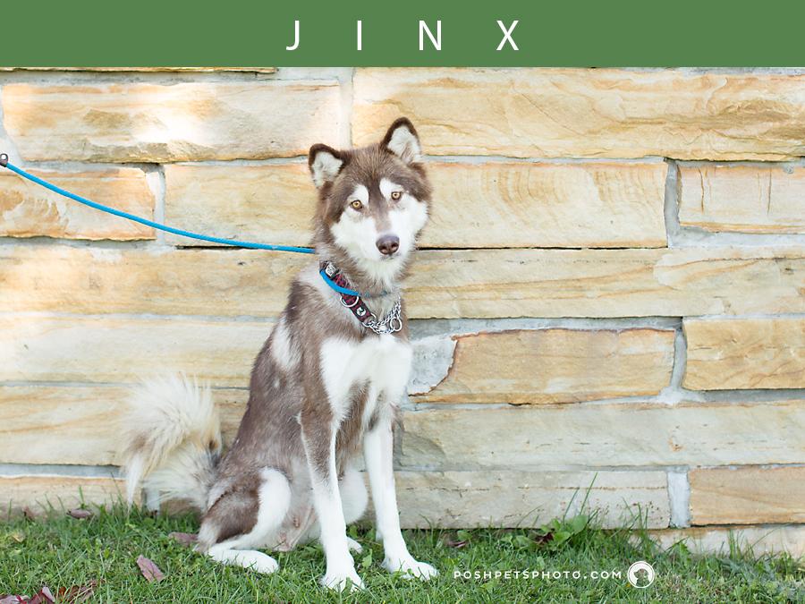 husky dog sitting on grass in Toronto