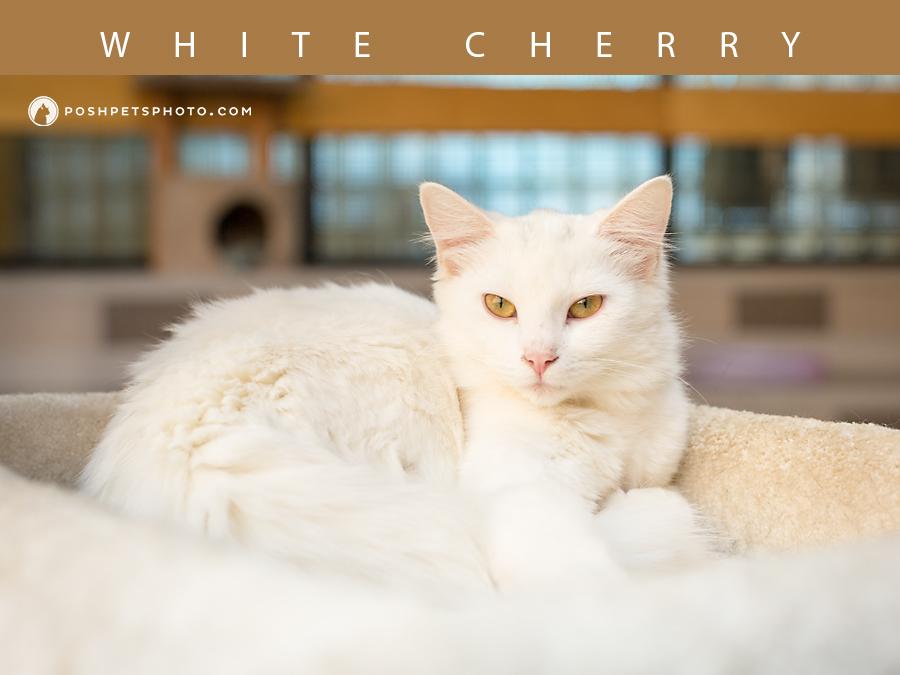 Toronto's best white cat