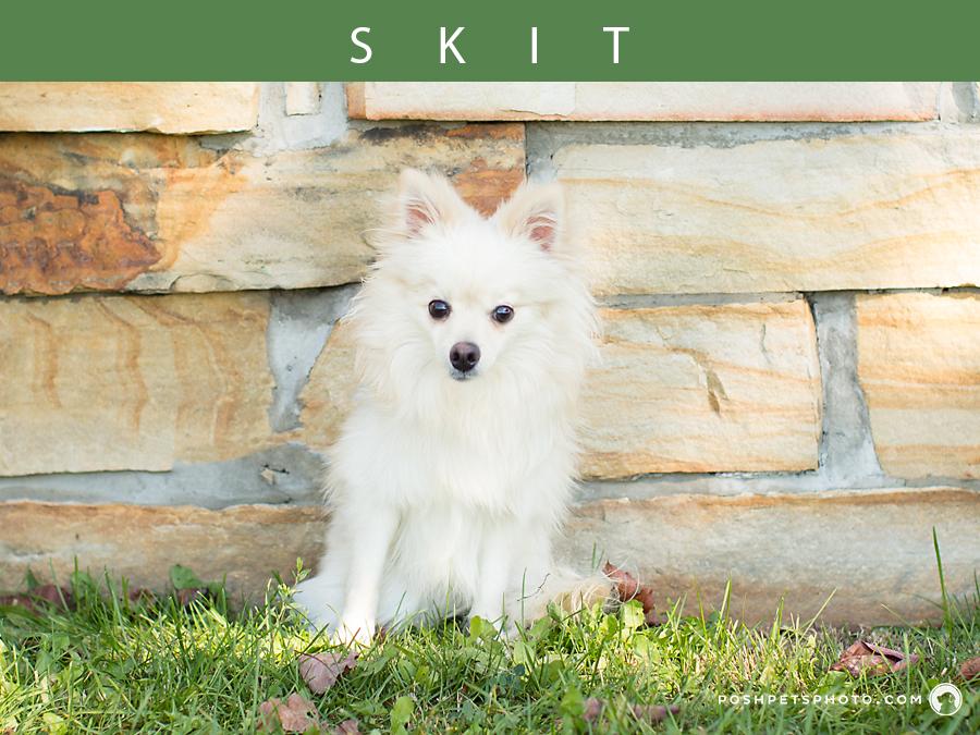ontario little white pomeranian dog