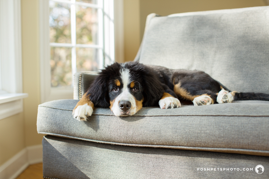 Bernese Mountain Dog Puppy on couch