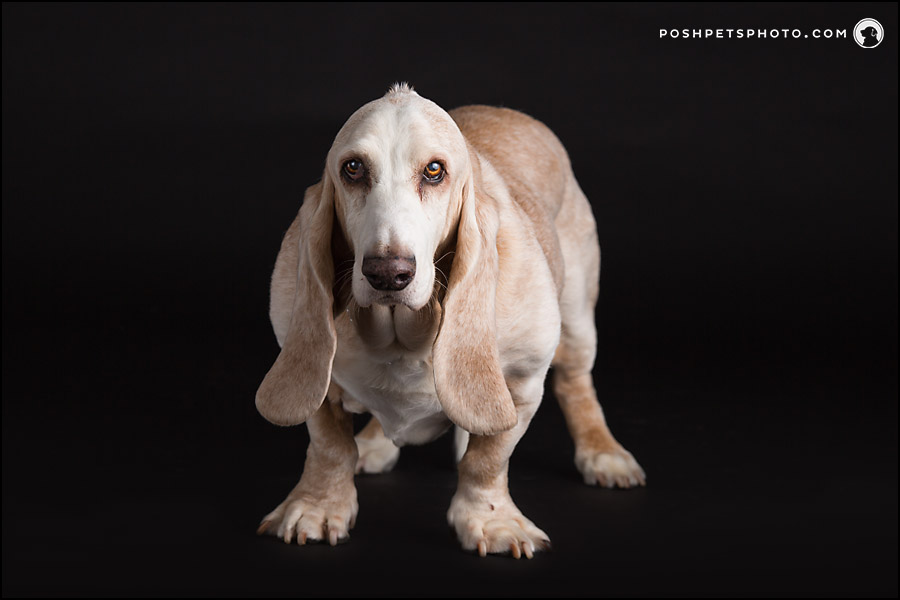 basset hound on black background