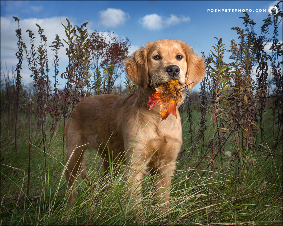 golden retriever puppy with leaf in her mouth
